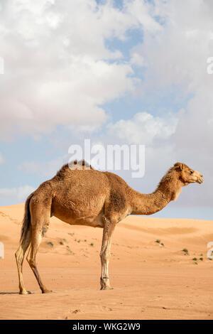 Image of camel in desert Wahiba Oman - Stock Photo