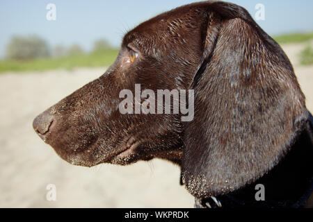 Young Kurzhaar puppy outdoors looking to the side. Natural colors and light - Stock Photo