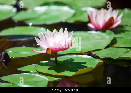 Two pink water lily flowers blossom on green leaves background close up, beautiful purple lilies in bloom on pond, lotus flower growing on sunny lake - Stock Photo