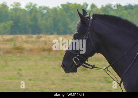 Portrait of a black horse in a bridle and trimmed mane - Stock Photo
