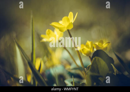 Small yellow flowers grow in a sunny meadow, primroses in spring. Lesser celandine, buttercup family - Stock Photo