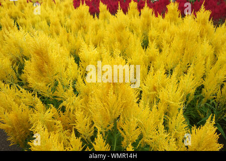Colorful plumed cockscomb flower or Celosia argentea blossom - Stock Photo