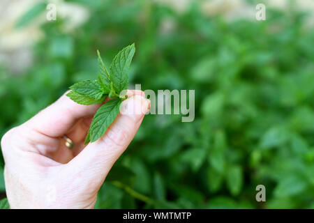 hand picking a sprig of home grown mint - Stock Photo
