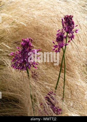 Flower heads of the late summer to Autumn flowering Allium carinatum ssp. pulchellum emerge through the feathery growth of Pennisetum villosum - Stock Photo