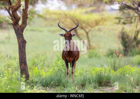 Swayne's Hartebeest antelope in Senkelle Sanctuary, Ethiopia, Africa wildlife - Stock Photo