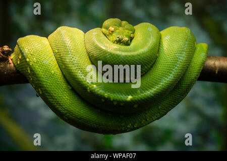 Green snake curled up on a branch. - Stock Photo