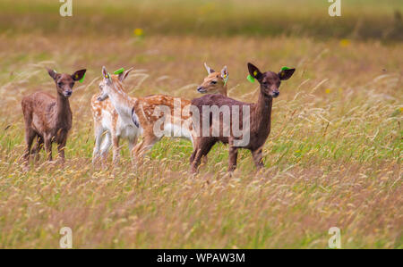 Fallow deer Dama dama, wild young baby fawns with ear tags, Phoenix Park, Dublin, Ireland, Europe. Tall grass blowing in wind. Dark and light coloured - Stock Photo