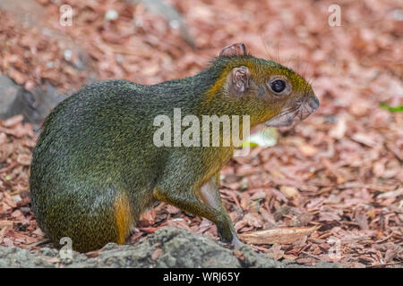 red acouchi, (Myoprocta acouchy), sitting very calm, close view - Stock Photo