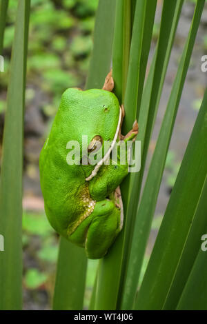 Close up of a White lipped tree frog on palm leaf, Mareeba Wetlands, Queensland, Australia - Stock Photo