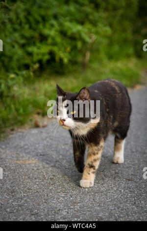 Tortoiseshell cat walking on a street - Stock Photo