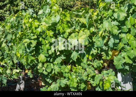 Vineyards in Ribera Sacra, Tronceda, Ourense, Galicia, Spain. - Stock Photo