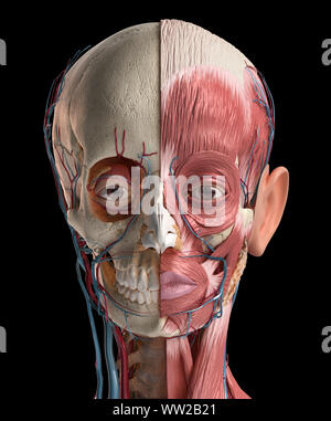 Human head anatomy 3d illustration. Showing skull, facial muscles, veins and arteries. On black background. - Stock Photo