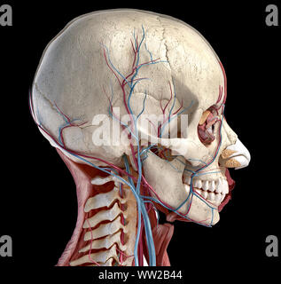 Human 3d anatomy illustration, showing skull, muscles, eyes and blood vessels. Side view. On black background. - Stock Photo
