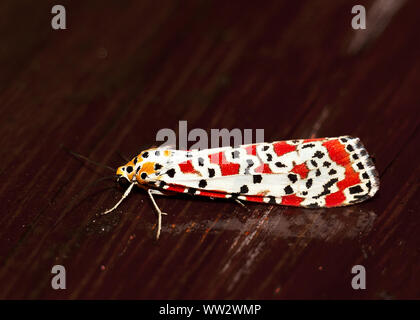 The Crimson-speckled Footman belongs toa familyof moths that includes the Tiger Moths and footmen. The Footmen are smaller and fly by day and dusk. - Stock Photo