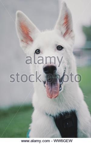 Cardiff, Wales, UK. Lincoln the Alaskan Malamute X Siberian Husky puppy at 15 weeks old. ©Natasha Camilleri - Stock Photo