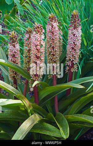 Pineapple flower, Eucomis comosa bicolour, Mauve coloured flowers growing outdoor. - Stock Photo