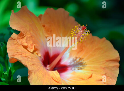 Orange and Red Hibiscus flower at the Botanical Gardens in New Mexico - Stock Photo