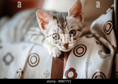 Curious gray kitten. Little cat at home. Small pet. looking curiously - Stock Photo