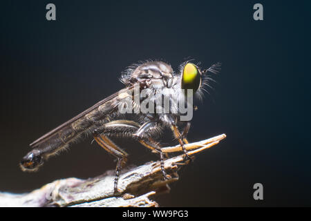 The Asilidae are the robber fly family, also called assassin flies. They are powerfully built, bristly flies with a short, stout proboscis enclosing t - Stock Photo