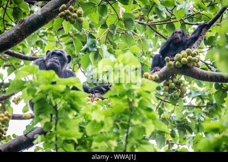 Chimpanzees (Pan troglodytes) eating figs in the treetops inKibale National Park, Uganda - Stock Photo