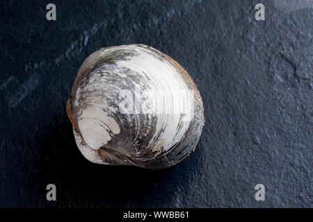 An Icelandic cyprine clam, Arctica islandica,  found in the English Channel. The Icelandic cyprine is one of the longest living organisms on Earth wit - Stock Photo
