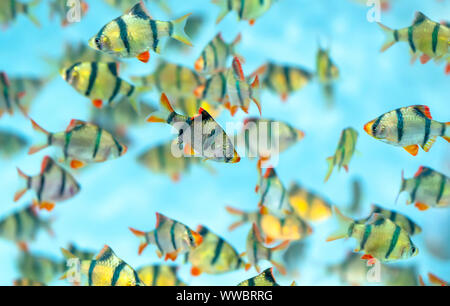 Group tiger barb or sumatra barb Puntius tetrazona fish in the aquarium. This is a species of ornamental fish used to decorate in the house - Stock Photo