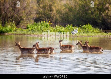 Fallow deers - Dama dama - , Natural Park of Aiguamolls de l'Empordà, Girona, Spain - Stock Photo