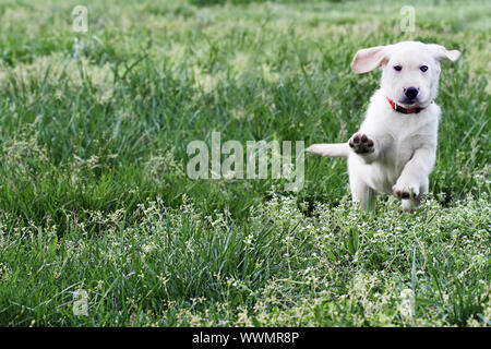 Cloud, an English Cream Labrador Retriever - Golden Retriever mixed designer breed 7 week old puppy,  running and playing in a field. Extreme shallow - Stock Photo