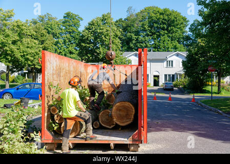 Tree surgeons cutting logs from large diseased elm in a container in a complex tree removal operation in a suburban street. - Stock Photo