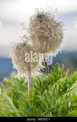 Towhead Baby, Anemone occidentalis, aka Hippie Sticks and  Western Pasqueflower, seed heads in the Goat Rocks Wilderness, Gifford Pinchot National For - Stock Photo