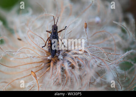 Grasshopper on Towhead Baby, Anemone occidentalis, aka Hippie Sticks and  Western Pasqueflower, seed head in the Goat Rocks Wilderness, Gifford Pincho - Stock Photo