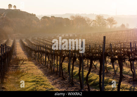 A vineyard with a forest in the background. Misty morning at the sunrise. Lights and shadows. - Stock Photo