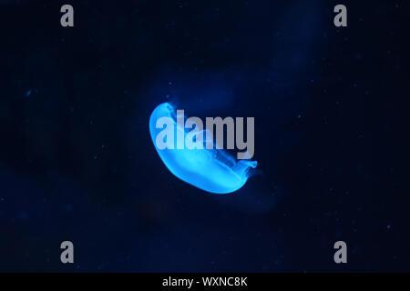 Photo of light blue jellyfish - Stock Photo