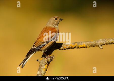 Eurasian linnet (Acanthis cannabina) male on a branch, France - Stock Photo