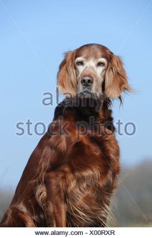Irish Setter, sitting - Stock Photo