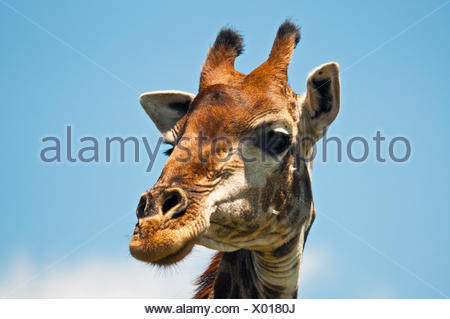 Close-up portrait of a giraffe head, South Africa - Stock Photo