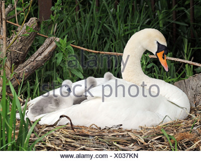 A swan with young cygnets sitting in her wings. - Stock Photo