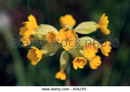 cowslip primrose (Primula veris), inflorescence, Germany - Stock Photo