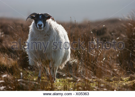 A Lone Sheep Standing In Grass; Northumberland, England - Stock Photo