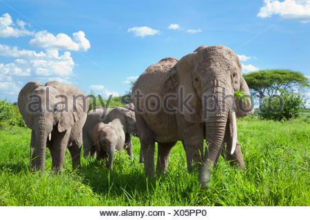African elephant (Loxodonta africana), grazing elephant family, Kenya - Stock Photo