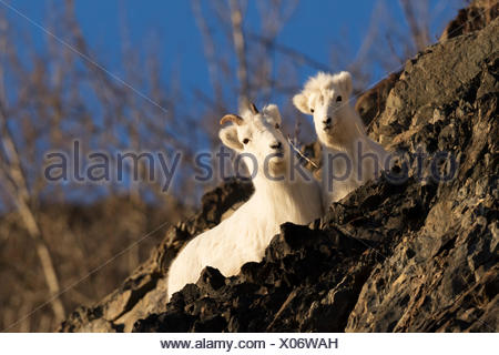 Dall sheep (ovis dalli) ewe and lamb cuddle together on a rocky ridge while laying and resting next to the Seward Highway - Stock Photo