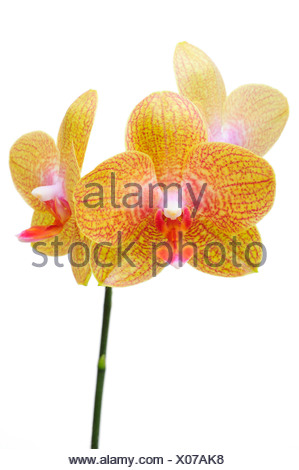 Orchid flowers, Orchidaceae (Phalaenopsis hybrid) - Stock Photo