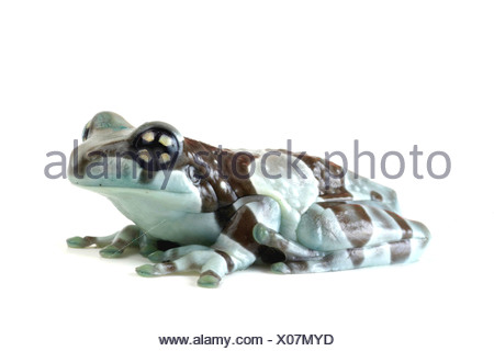 Amazonian canopy frog (Phrynohyas resinifictrix), side view - Stock Photo