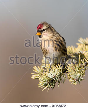Common Redpoll, Acanthis flammea, perches on a spruce tree, in Saskatchewan, Canada - Stock Photo