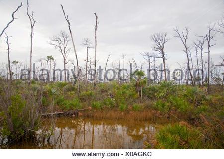 Slash pine (Pinus elliottii), dead pines and saw palmetto in wetland , USA, Florida, National Key Deer Refuge, Big Pine Key - Stock Photo