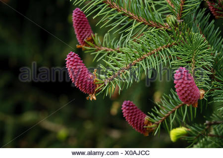 Picea abies - common spruce - Stock Photo