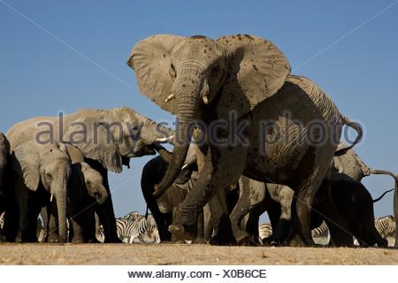 Angry elephant, Etosha National Park, Namibia. - Stock Photo