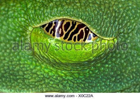 Rotaugenfrosch, Rotaugen-Laubfrosch, Rotaugenlaubfrosch (Agalychnis callidryas), Auge, Seychellen | red-eyed treefrog, redeyed t - Stock Photo