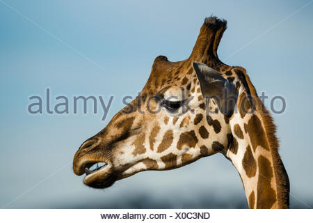 The large head of a Giraffe chewing its cud. - Stock Photo