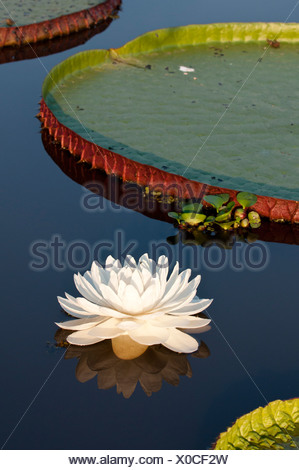 Giant Water Lilies (Victoria amazonica). Lake near Cuiaba River, Northern Pantanal, Brazil. - Stock Photo